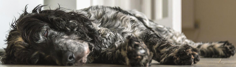 Antibiootikumid koerale